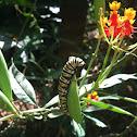 Monarch Butterfly (larva)
