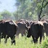 African Buffalo , Cape Buffalo