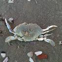 Marine mud crab