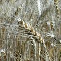 गेहूँ Wheat