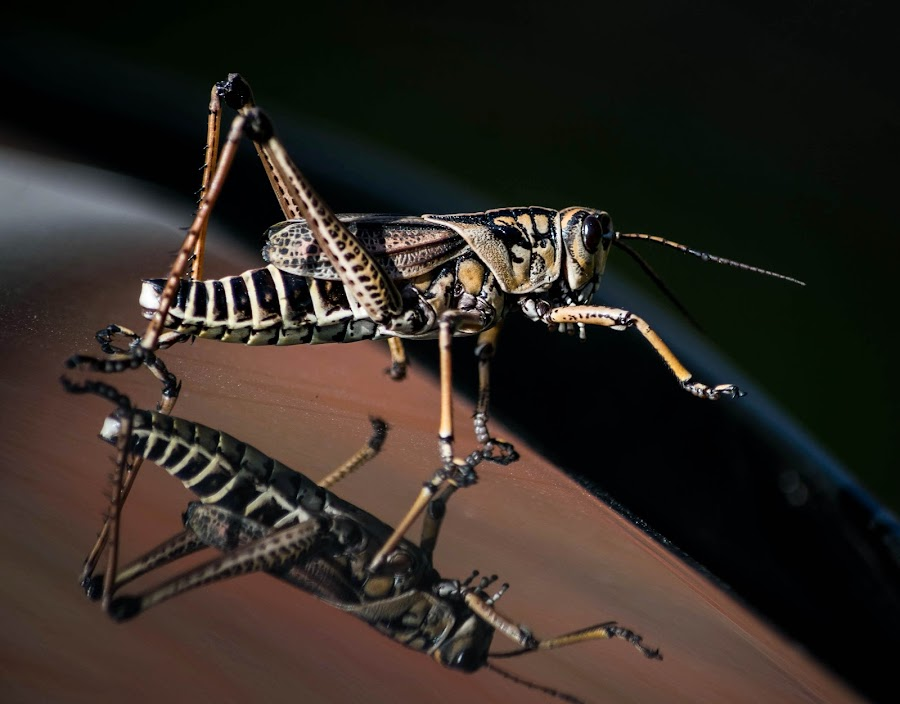 Just out of reach. by Todd Sowels - Animals Insects & Spiders ( macro, insect, grasshopper )