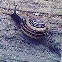 Dune Snail?