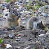 California Ground Squirrel Babies
