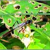 Ichneumon Wasp (Female)