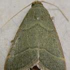 Southern Hayworm Moth