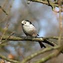 Long-tailed Tit - Mlynařík dlouhoocasý