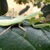 Giant Asian Mantis - Nymph