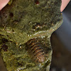 Unknown Chiton