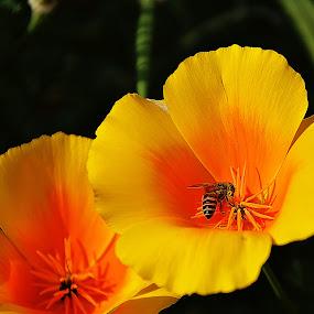 Busy bee by Saptarshi Datta - Flowers Flower Gardens ( bee flower garden yellow,  )