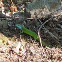 Smaragdeidechse/emerald lizard