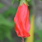 Hibiscus/Gumamela
