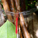 Central American Redskimmer