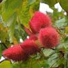 Achiote (Lipstick Tree)
