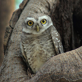 spotted owlet by Sanket Warudkar - Animals Birds ( bird, canon, canon600d, nature, spotted owlet, owl, india, cute, eyes )