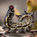azalea caterpillar?