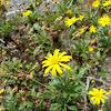 Golden daisy bush (Κίτρινη μαργαρίτα)