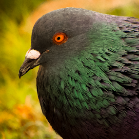 Orange eye by Thiago Silva - Animals Birds ( colors, close up, birds )