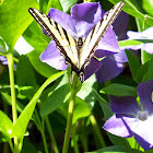 Pale Tiger Swallow Tail Butterfly