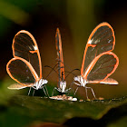 Simplex Clearwing Butterfly