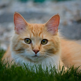 Cillin' in the grass by E.g. Orren - Animals - Cats Portraits ( kitten outside relaxing, , color, colors, landscape, portrait, object, filter forge )