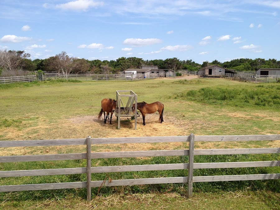 Wild Horses on Ocracoke Island - Outer Banks, North Carolina by Caitlin Perry - Animals Horses ( northcarolina, horses, ocracoke, fences, beauty, outerbanks, island )