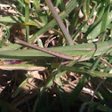 Common stick grasshopper
