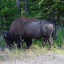 American (plain) Bison
