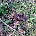 European Hare - Feldhase