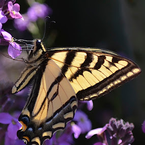 Tiger Swallowtail by Ed Hanson - Animals Insects & Spiders ( butterfly, wings, yellow, swallowtail, black )