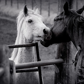 everyone needs a nuzzle by Chrysta Rae - Animals Horses ( black and white horse, animals, nuzzle, horses, horse, animal,  )