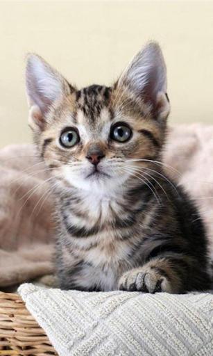Sevimli Kedi Yavruları Duvar