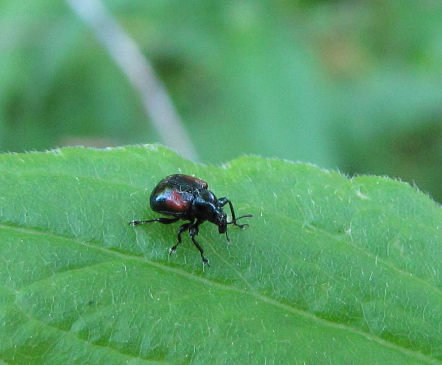 Oak Leaf-rolling Weevil