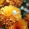 Goldenrod Crab Spider (female)