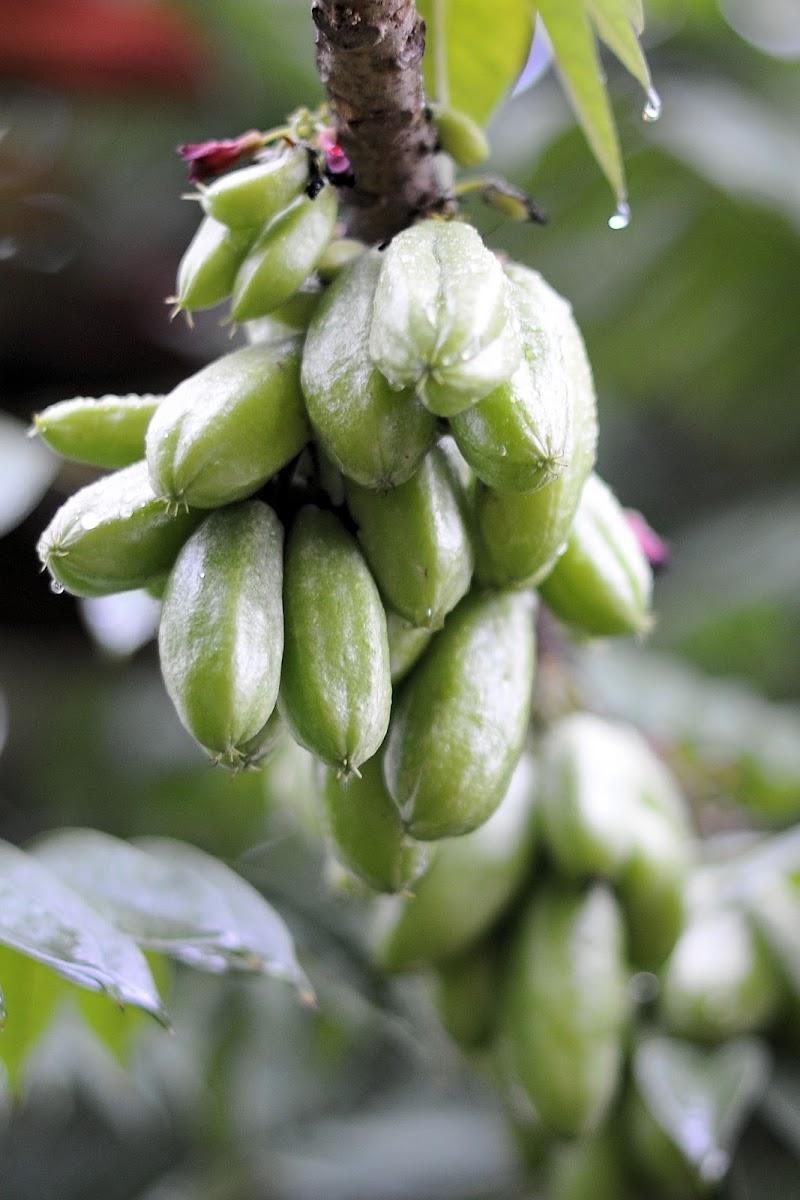 Cucumber Tree / Belimbing Wuluh (Ind)