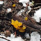 Guepiniopsis alpina