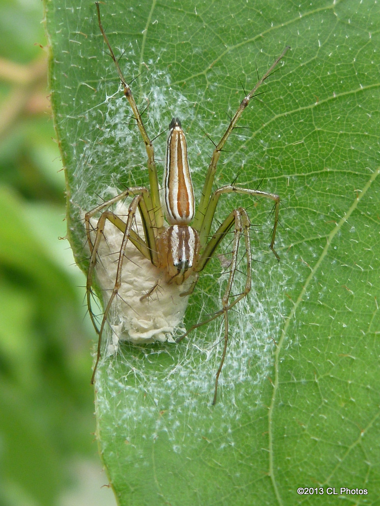 Lynx Spider with Eggs