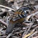 Australian Logrunner (male)
