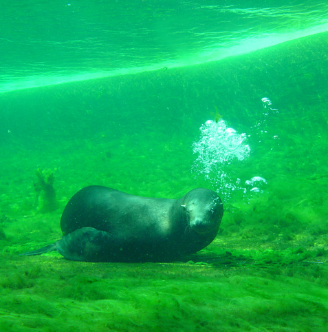 zeehond onderwater