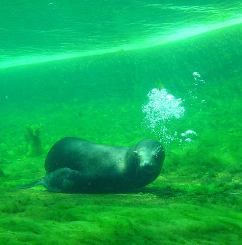 zeehond onderwater, emilie schäfer