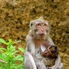 Mother and child by Pavel Aberle - Animals Other Mammals ( mammals, bali, monkeys, travels, indonesia, d7000, nikon, photography, animal, monkey )
