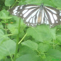 black veined tiger