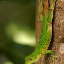 Immature Black Spiny-tailed Iguana