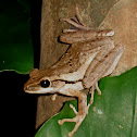 Common Tree Frog or Four-lined Tree Frog