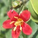 Jatropha mollissima