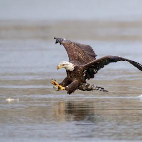 Wild Eagle  by Herb Houghton - Animals Birds ( herbhoughton.com )