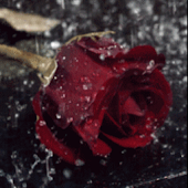 Rain On Red Rose Live Wallpape