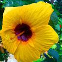 Hibiscus /Gumamela