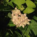 Climbing Milkweed Vine