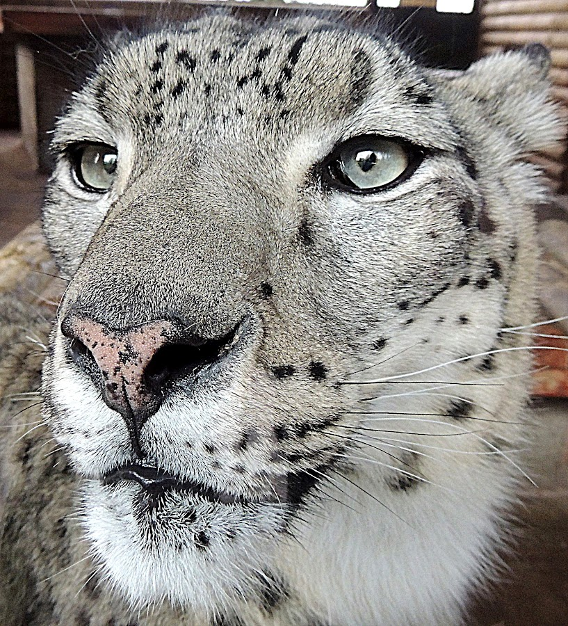 Face to face by Kathryn Willett - Animals Lions, Tigers & Big Cats ( big cat, zoo, captive, snow leopard, portrait )