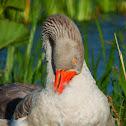 Greylag goose hybrids